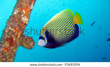 Emperor Angel fish in the Red Sea - stock photo