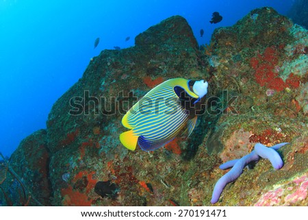 Emperor Angelfish - stock photo