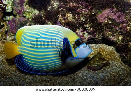 Emperor Angelfish in Coral Reef Aquarium - stock photo