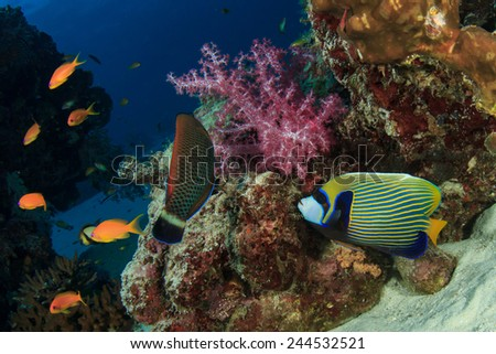Emperor Angelfish on coral reef - stock photo