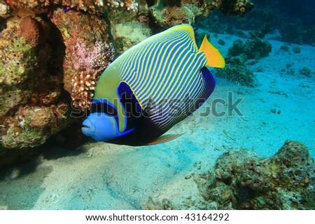 Emperor Angelfish (Pomacanthus imperator) - stock photo