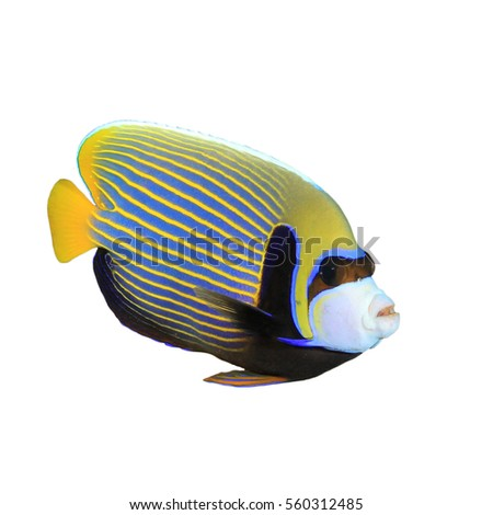 Emperor Angelfish tropical fish isolated on white background
