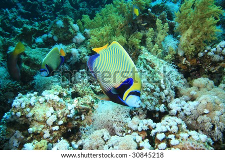 Emperor Angelfishes feeding on coral reef