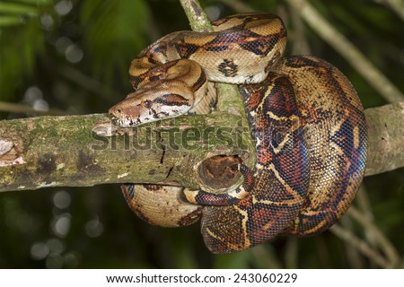 Emperor boa (Boa constrictor imperator) hanging in a tree, Tortuguero, Costa Rica. - stock photo