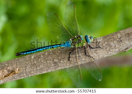 Emperor Dragonfly (male) on a branch - stock photo