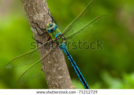 Emperor Dragonfly on a branch on green - stock photo