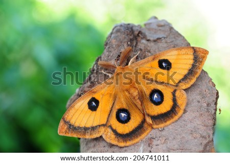 Emperor moth, Aglia tau  - stock photo