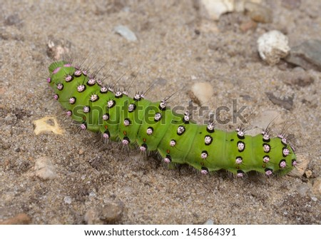 emperor moth caterpillar from above