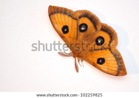 emperor moth isolated on white, Aglia tau - stock photo