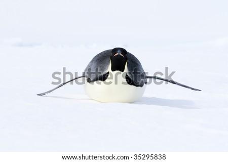 Emperor penguin (Aptenodytes forsteri) sliding on the ice in the Weddell Sea, Antarctica - stock photo