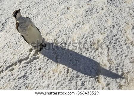 Emperor penguin chick - stock photo