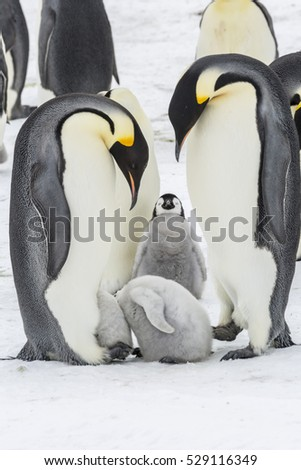 Emperor Penguin chicks with heads in the brood pouch