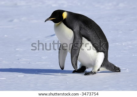 Emperor penguin is getting on its feet - stock photo