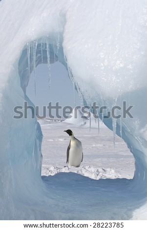 Emperor penguin seen through an ice cave - stock photo