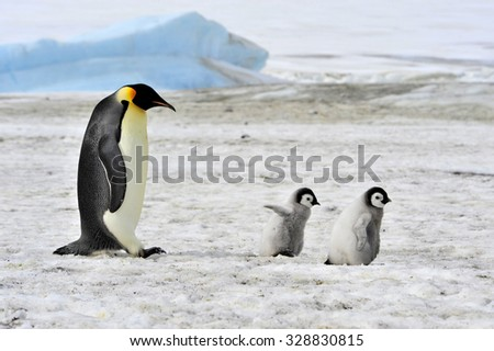 Emperor Penguin with two chicks in Antarctica - stock photo