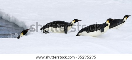 Emperor penguins (Aptenodytes forsteri) jumping out of the water onto the ice in the Weddell Sea, Antarctica - stock photo