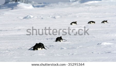 Emperor penguins (Aptenodytes forsteri) sliding on the ice in the Weddell Sea, Antarctica - stock photo
