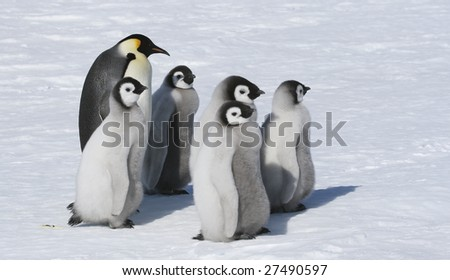 Emperor penguins on the sea ice in the Weddell Sea, Antarctica - stock photo