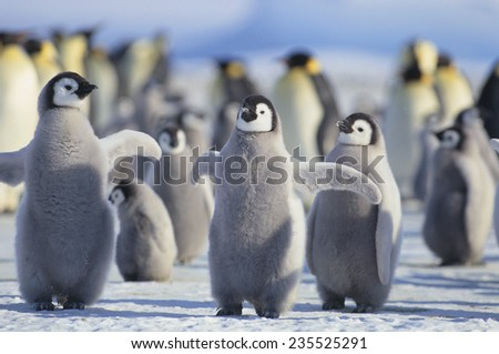 Emperor Penguins with Wings Outstretched - stock photo