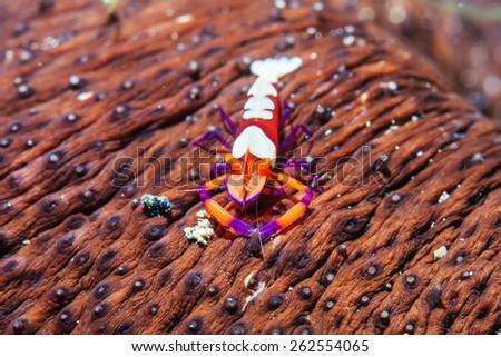 Emperor shrimp - stock photo