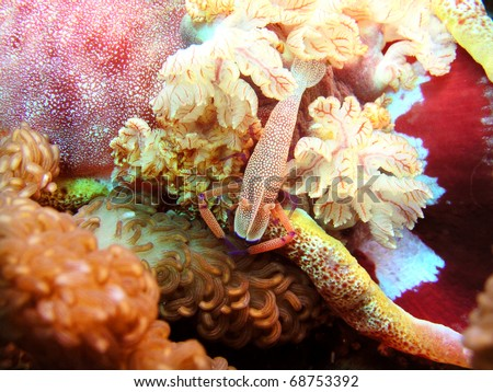 Emperor shrimp periclimenses imperator at Spanish dancer - stock photo