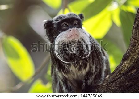Emperor Tamarin looking sat in tree amongst leaves - stock photo
