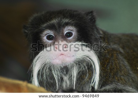 Emperor Tamarin (Saguinus imperato) with a slightly damp mustache