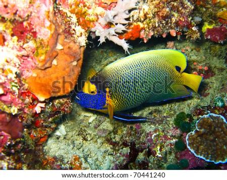 Emperrer angel fish at sipadan. - stock photo