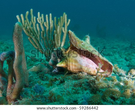 Empty Conch Shell on a reef in Broward County, Florida - stock photo