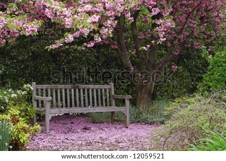 Empty park bench underneath a Kwanzan cherry tree in full bloom with fallen petals all around. - stock photo