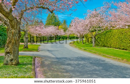 Empty street (pathway ) at the Cherry blossom spring time. Vancouver. Canada.