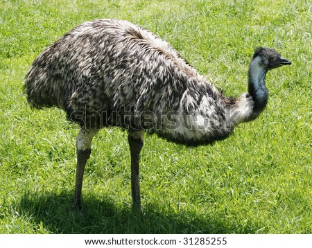 emu - stock photo