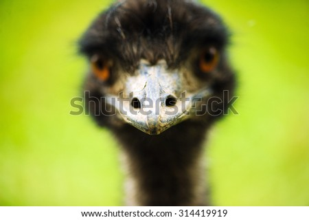 emu, focus on the beak