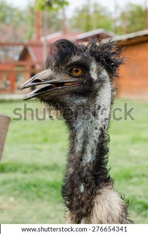 emu portrait - stock photo