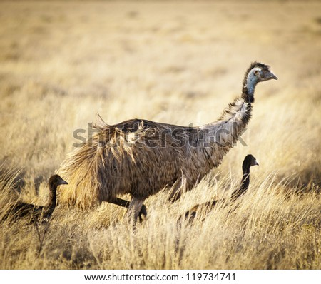 Emu with young chicks in the wild of outback Australia - stock photo