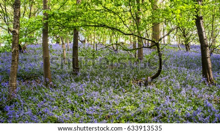 Enchanted bluebell woodland with curved tree framing the scene