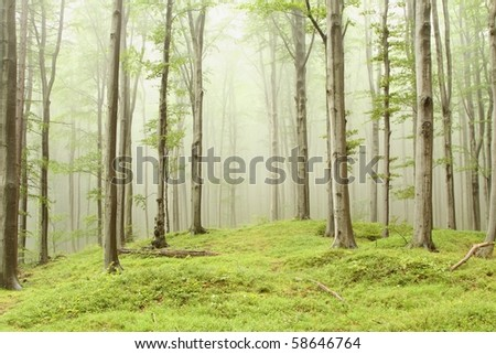 Enchanted forest with mist moving between the beech trees. Picture taken in August. - stock photo