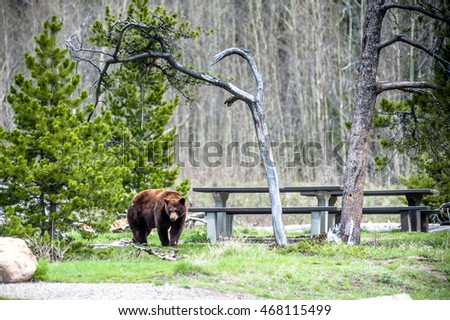 encounter with a grizzly bear (Ursus arctos horribilis) on the campground of Waterton National Park, Alberta, Canada - photo series 1 of 4