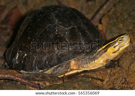 Endangered Amboina Box Turtle (Cuora amboinensis) looks sideways at the camera n the jungles of Borneo. AKA Malayan or Malaysian or Southeast Asian Box Turtle. This is an unidentified subspecies. - stock photo