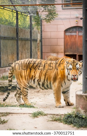 Endangered bengal tiger living in captivity in an European zoo - stock photo