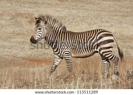 Endangered Cape Mountain Zebra; Equus zebra - stock photo