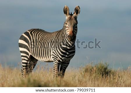 Endangered Cape Mountain Zebra (Equus zebra), Mountain Zebra National Park, South Africa - stock photo