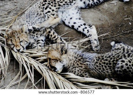 Endangered cheetah cubs, South Africa - stock photo