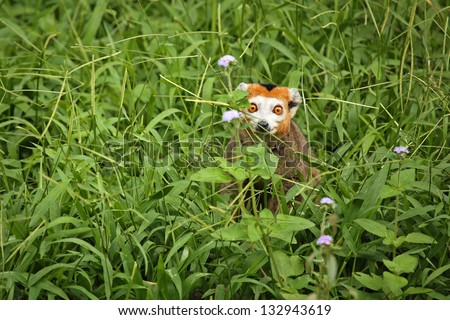 Endangered Crowned Lemur (Eulemur coronatus) peers out with bright, orange eyes from behind vegetation in Madagascar. This lemur is designated as vulnerable (threatened) by the IUCN.