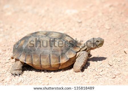 endangered desert turtle wild animal - stock photo