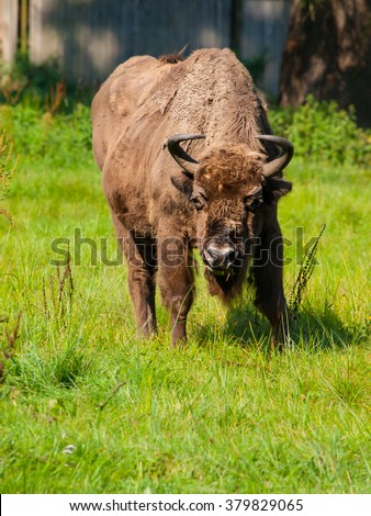 Endangered european wood bison, or wisent, in Bialowieza primeval forest, Poland and Belarus - stock photo