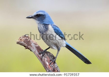 Endangered Florida Scrub-Jay (Aphelocoma coerulescens) perched on a branch - stock photo