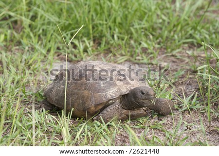 Endangered Gopher Turtle or Tortoise walking on green grass with neck extended and legs extended