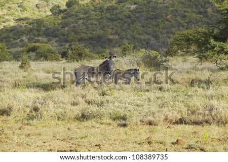 Endangered Grevy's Zebra and Impala in Lewa Conservancy, Kenya, Africa - stock photo