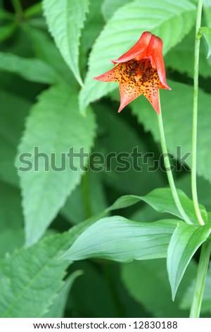 Endangered Lilium grayi S. Watson (Gray's Lily) Close-Up Vertical - stock photo
